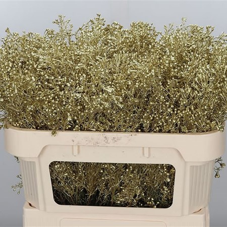 WAXFLOWER DYED GOLD