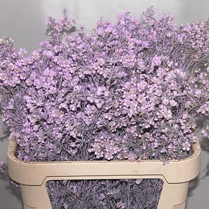 WAXFLOWER DYED LILAC