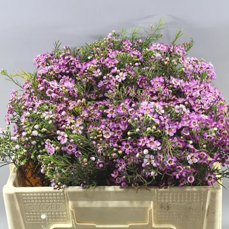 WAXFLOWER EMMA