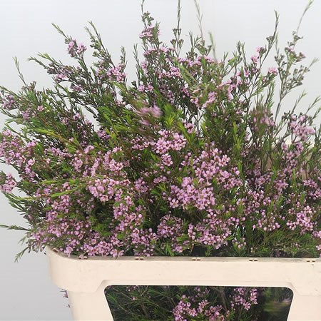 WAXFLOWER HILI