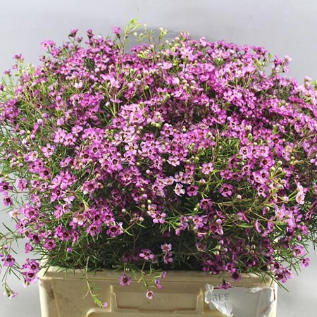 WAXFLOWER JUPITER