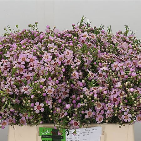 WAXFLOWER MAJESTIC PINK