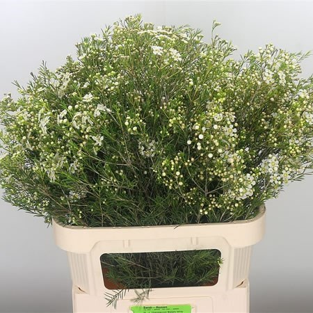 WAXFLOWER MAJESTIC WHITE