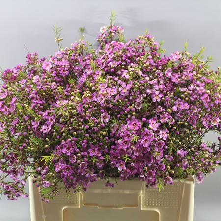 WAXFLOWER MERCURY