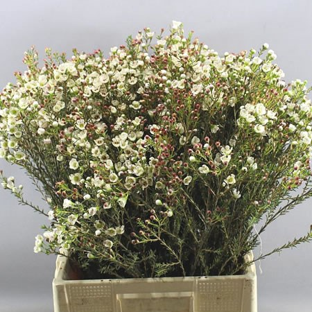 WAXFLOWER MI TAL
