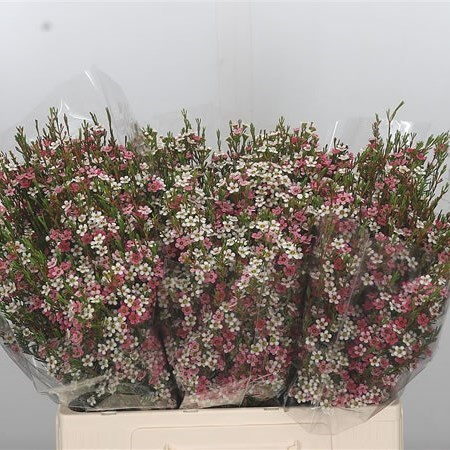 WAXFLOWER MY SWEET 16