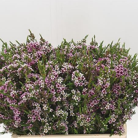 WAXFLOWER NIKI