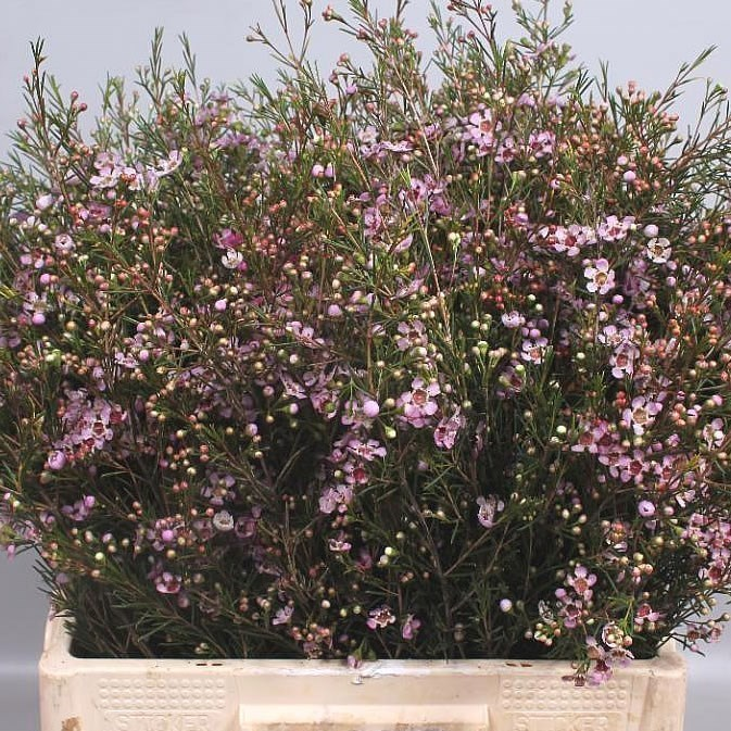 WAXFLOWER NIR