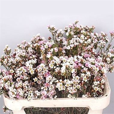 WAXFLOWER REVELATION