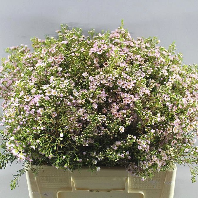 WAXFLOWER UMBRELLA