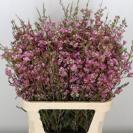 Waxflower Adi (Israel)