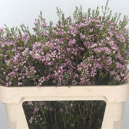 Waxflower Early Nir