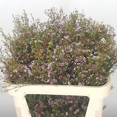 Waxflower Early Nir (Extra)