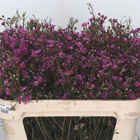 Waxflower Eden Purple