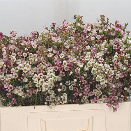 Waxflower Ella