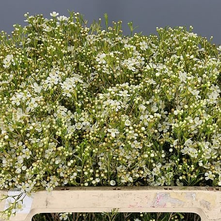 Waxflower Ofir