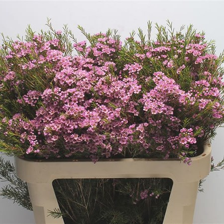 Waxflower Hot Pink
