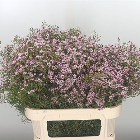 Waxflower Jupiter Sol