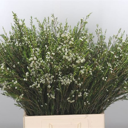 Waxflower Luna