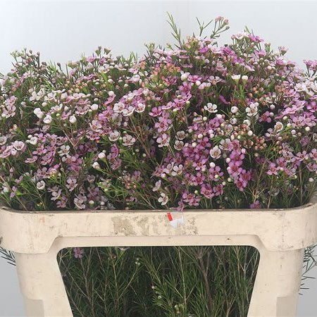 Waxflower Maira