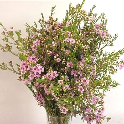 Waxflower Raspberry Ripple