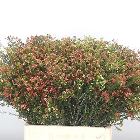 Waxflower Red Wave (in seed)