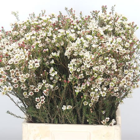 Waxflower Tal