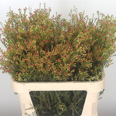Waxflower in Seed (red)