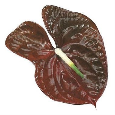 Weekly Special - ANTHURIUM CHOCO