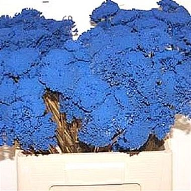 Achillea Dyed Blue