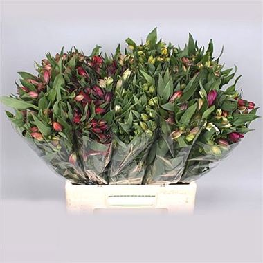 Alstroemeria Mix (short)