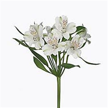 Wholesale alstroemeria guide wedding flower guides uk triangle rijnsburg auction alstroemeria virginia mightylinksfo Gallery