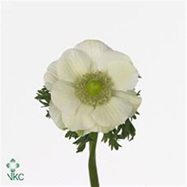Anemone white (buyers choice)