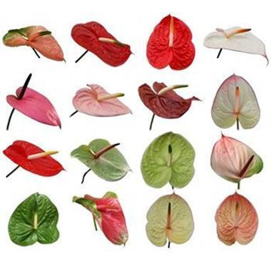 Anthurium Mixed Cols x 16 (Varieties May Vary to Image)
