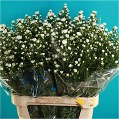 Aster pretty wendy double 70cm