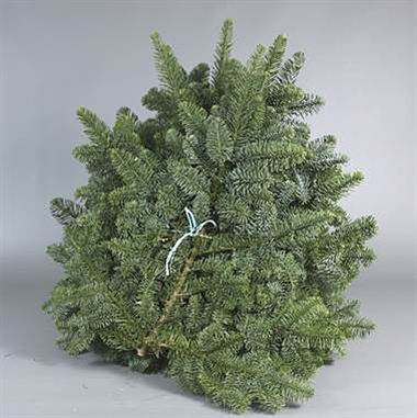 Blue Spruce 5kg 'Yellow band'