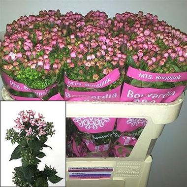 Bouvardia dbl. diamond dark pink