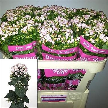 Bouvardia dbl. diamond light pink fresco