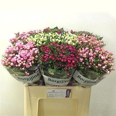 Bouvardia dbl. Mixed 60cm (Varieties May Vary to Image)