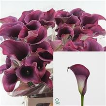 Calla Lily Captain Promise