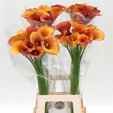 Calla Lily Hot Shot