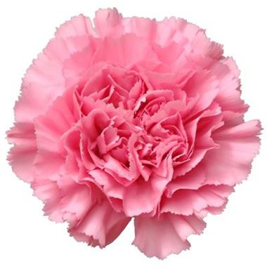 Carnation Bubblegum Pink