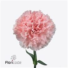Carnation Jodie