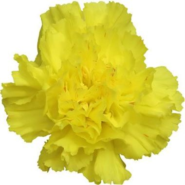 Carnation Sunshine