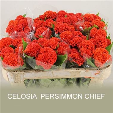 Celosia cr persimmon chief