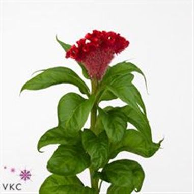 Celosia cr red flame