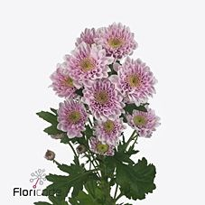 CHRYSANT SPR. BELICIA PINK