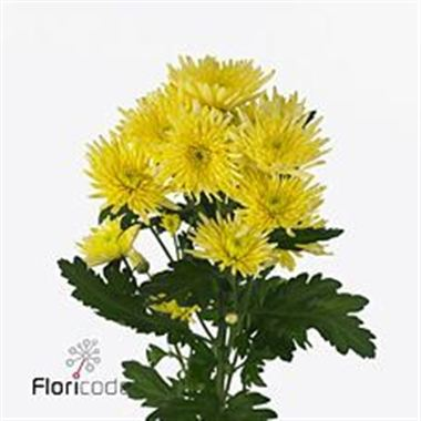 Chrysant spr. carolle yellow