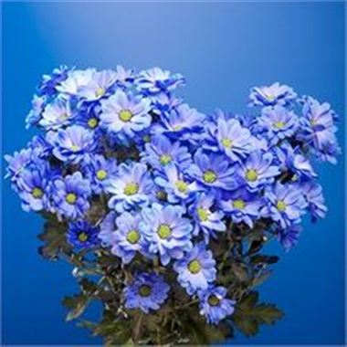 Chrysant spr. Reagan Dyed Blue