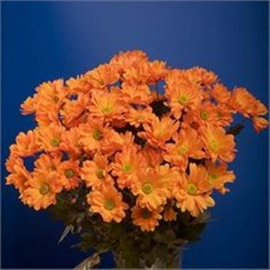 Chrysant spr. Reagan Dyed Orange